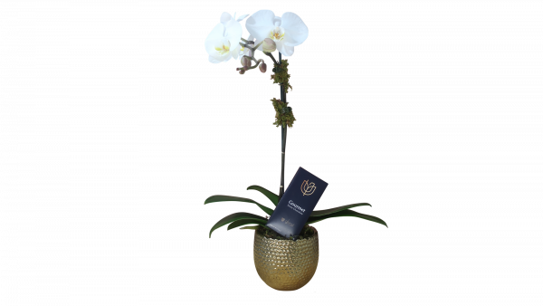 Large Orchid Plant